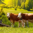 Two cows on the field — Stock Photo #28469655