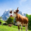 Switzerland cow — Stock Photo