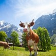 Cows in Switzerland mountains — Stock Photo