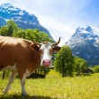 Interested cow — Stock Photo