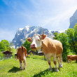 Two cows in the pasture — Stock Photo #28469737