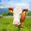 Cute cow — Stock Photo