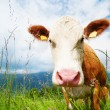 Stock Photo: Cow's snout