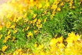 Belle fiori gialli — Foto Stock
