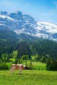 Dağ mera ve inek — Stok fotoğraf