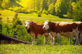 Two cows on the field — Stock Photo