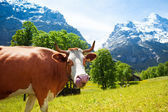 Funny cow with long tongue — Stock Photo