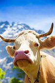 Closeup of cow's snout — Stock Photo