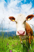 Cow's snout — Stock Photo