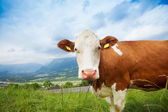 Closeup of a cow — Stock Photo