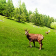 Chamois in the mountain meadow — Stock Photo