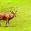 Spotted deer in the meadow — 图库照片