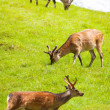Foto de Stock  : Herd of deer grazing in the meadow