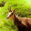 Chamois in the pasture — Stock Photo