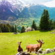 Deer on the mountain pasture — Stock Photo