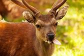 śmieszne jelenia — Zdjęcie stockowe