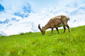 Chamois on the pasture — Stock Photo