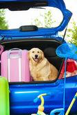 狗和在后备箱的行李 — 图库照片
