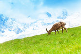 Mountain goat in the pasture — Stock Photo