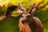 Amusing deer — Stock Photo
