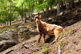 Chamonix ibex — Stock Photo