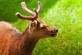 Portrait of a young deer — Stock Photo