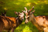 Two young deer — Stock Photo