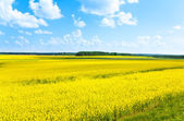 Rapeseed flowers field — Stock Photo