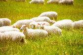Sheep herd on the farm — Stock Photo