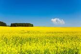 Spring yellow fields in Belarus — Stock Photo