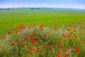 Flores de amapola — Foto de Stock
