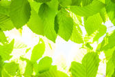 Spring leaves background — Stock Photo