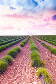 Sunrise over young lavender field — Stock Photo