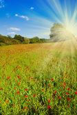 Vallmo blommor fält — Stockfoto