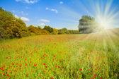Poppy flowers field — Stock Photo