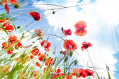 Poppies red flowers — Stock Photo
