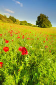 赤いケシの花 — ストック写真
