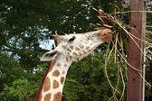 Girafa comer — Foto Stock