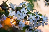Blooming fruit garden in the setting sun — Stock Photo