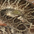 Eastern Diamondback Rattlesnake - Stock Photo