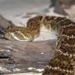 Head of Eastern Diamondback Rattlesnake - Stock Photo