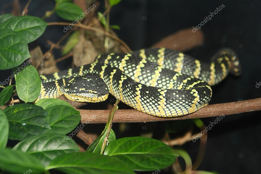 The Western Diamondback Rattlesnake (Crotalus atrox) is one of the most aggressive rattlesnake species. It is a nocturnal hunter. Found in the United States and Mexico — Stock Photo #13391179