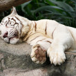 Stock Photo: Close view of white tiger sleeping