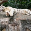 Stock Photo: Adult white tiger resting