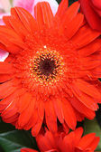 Close-up of gerbera flower — Stock Photo