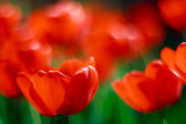 Tulips bokeh — Stock Photo
