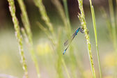 A dragonfly on a blade of grass — Stock Photo