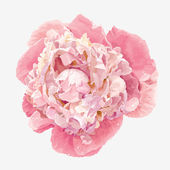 Pink peony flower — Vector de stock