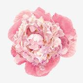 Flor peonía rosa — Vector de stock