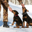 The man trains two puppies of hunting breed (Jagdterrier) - Stock Photo